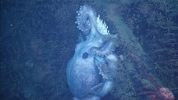 pulpo hembra Octomom