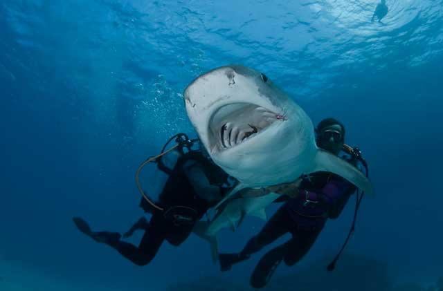 suelta de tiburón tigre en Australia