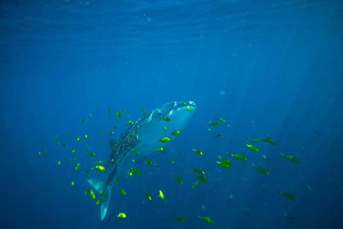 tiburón ballena en el Mar Rojo