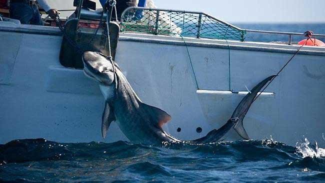 tiburón tigre cazado en Australia