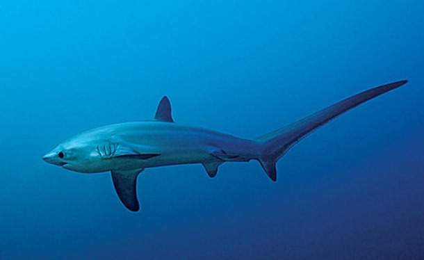 tiburón zorro común