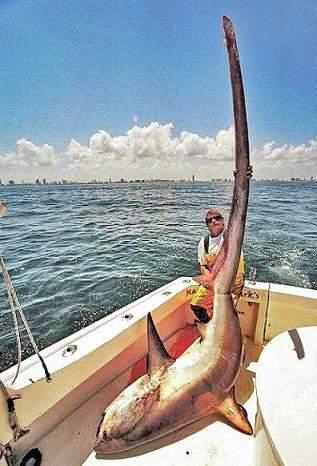 tiburón zorro récord longitud de cola