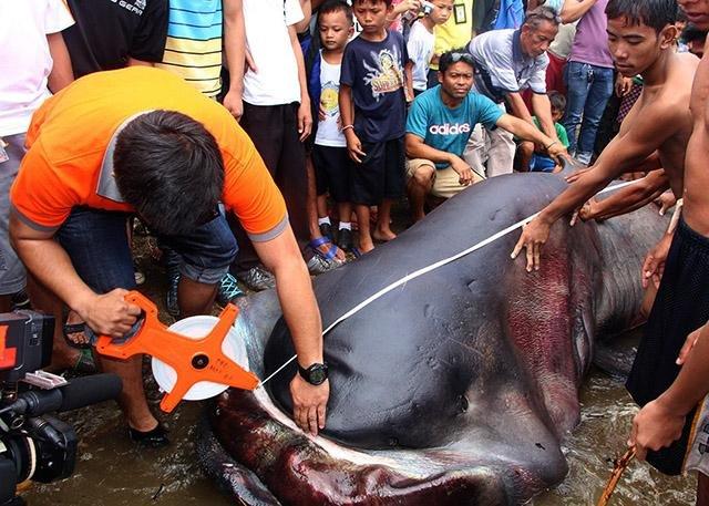 tiburón de boca anha capturado en Filipinas