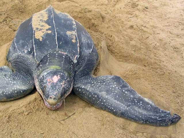 tortuga laúd (Dermochelys coriacea)
