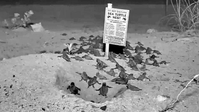 tortugas marinas webcam