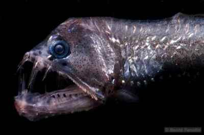 cabeza del pez víbora (Chauliodus sloani)