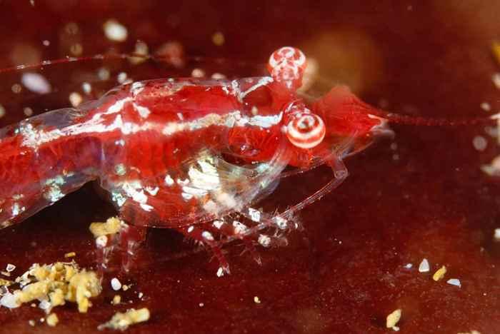 camarón admirador de estrellas (mysidopsis-zsilaveczi)