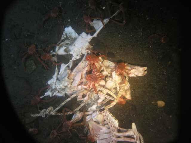 cangrejos dungeness de alimentan del cadáver de un cerdo