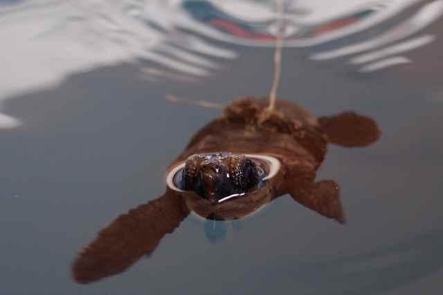 cría de tortuga marina de Cabo Verde etiquetada