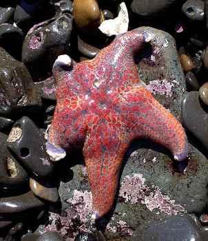 estrella de mar con densovirus