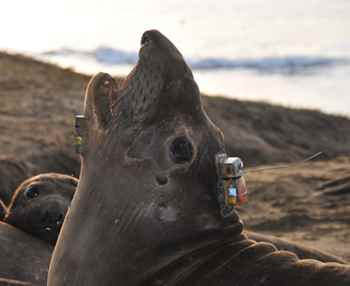 elefante marino (Mirounga angustirostris) con unacelerómetro