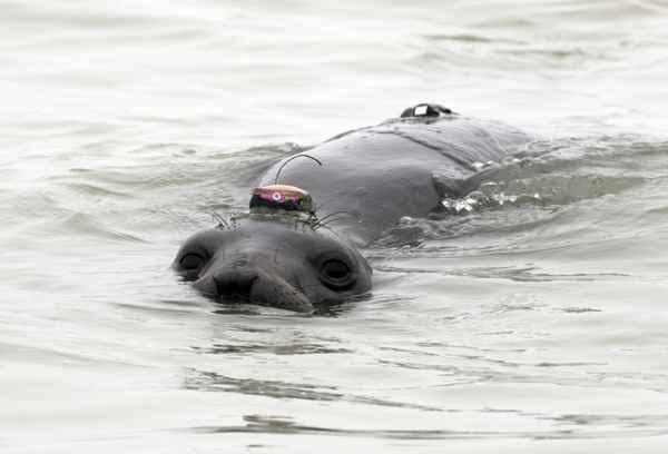 elefante marino (Mirounga angustirostris) etiquetado