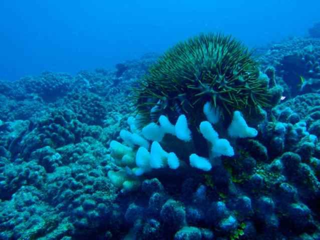 estrella de mar corona de espinas atacando un coral