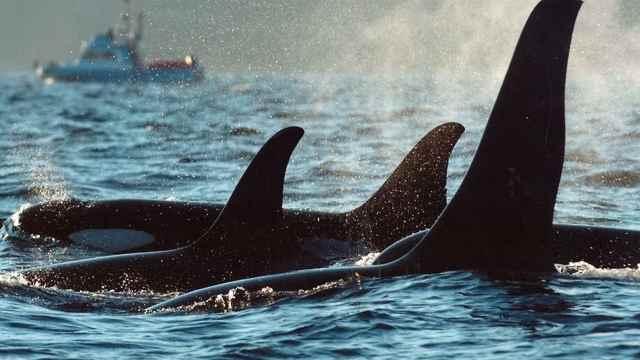 La invasión de las orcas