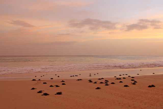 migración de crías de tortuga marina de Cabo Verde