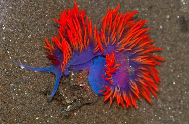 nudibranquio de cintas rojas