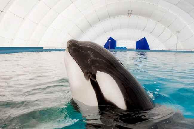 Orcas cautivas en Rusia