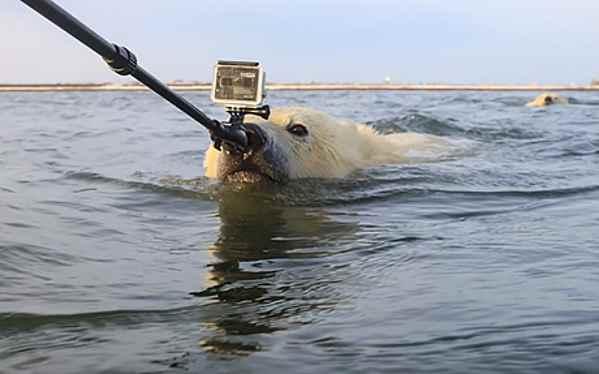 oso polar persigue a fotógrafo
