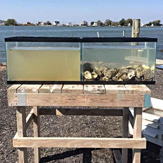 filtración de agua por las ostras