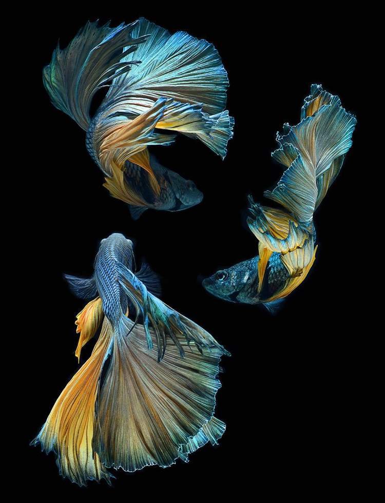 peces luchadores siameses por Visarute Angkatavenich