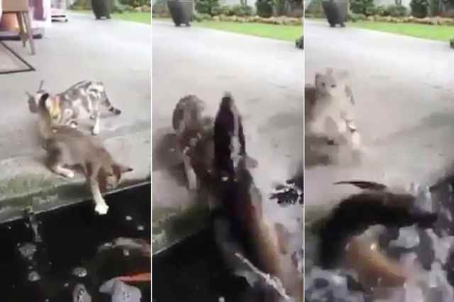 pez ataca a unos gatos