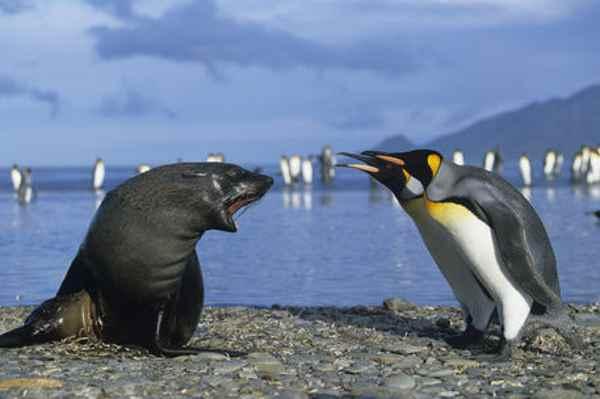 pingüino rey y lobo marino