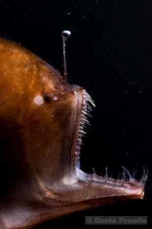 rape de aguas profundas (Melanocetus johnsoni)