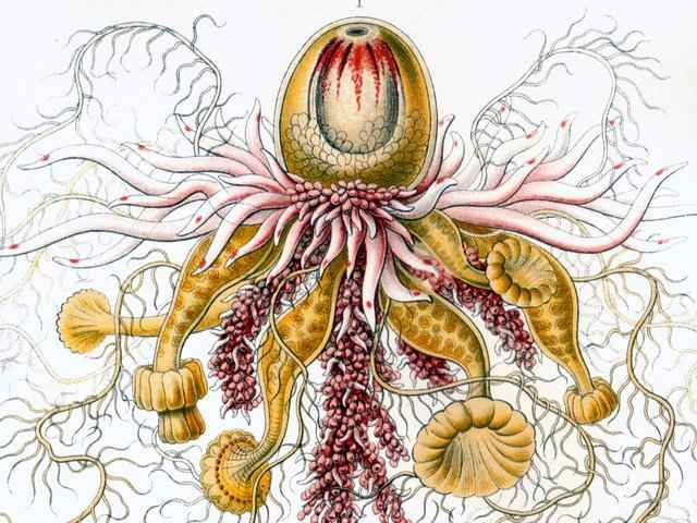 dibujo antiguo de un sifonóforo