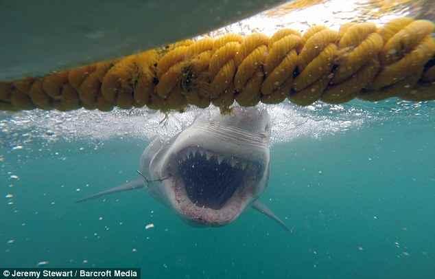 tiburón blanco atacacando