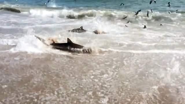 frenesi de alimenación de tiburones en una playa