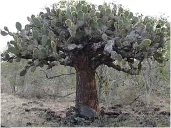 tortuga gigante de las Galápagos (Chelonoidis hoodensis) baj un cactus