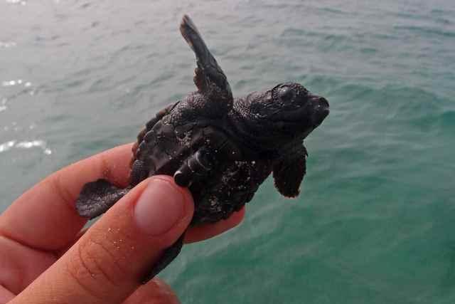transmisor en una cría de tortuga marina de Cabo Verde