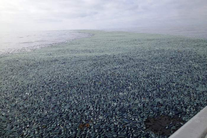 Velella velella varadas playa California