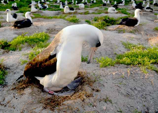 el albatros Wisdom incubando