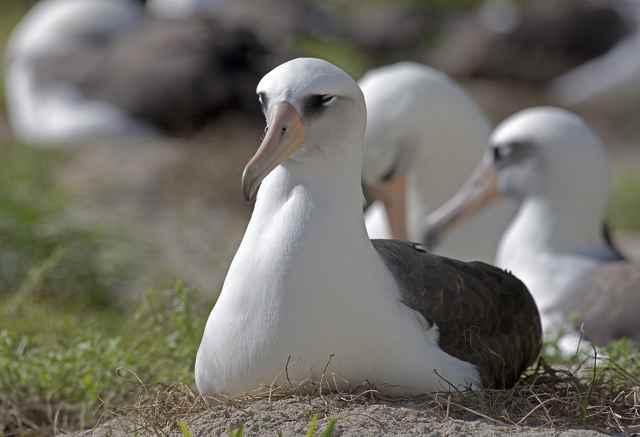 Wisdom la hembra de albatros más vieja del mundo
