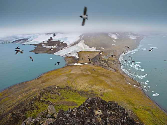 alcas en busca de anidación en el Ártico