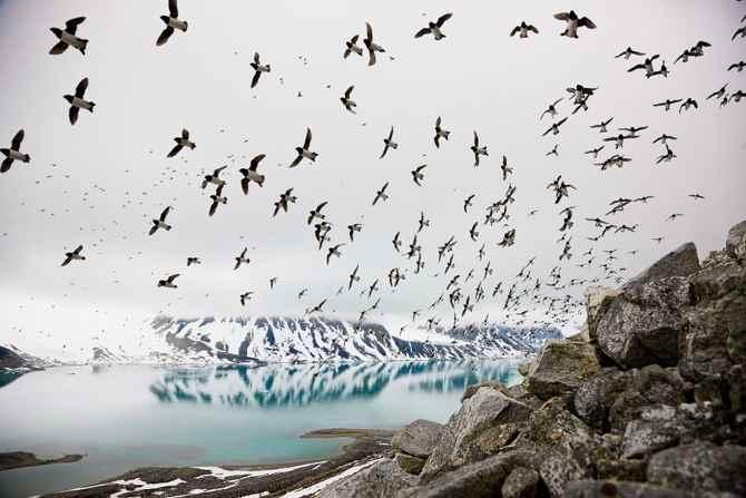 alcas en vuelo en el Ártico