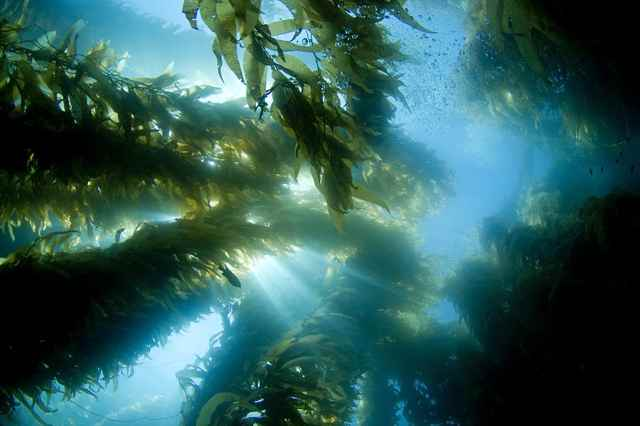 bosque de algas gigantes (kelp o sargazo)