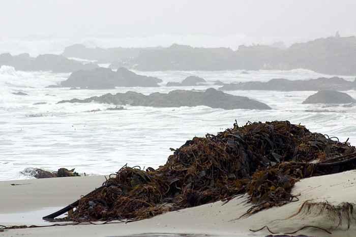 algas pardas en una playa