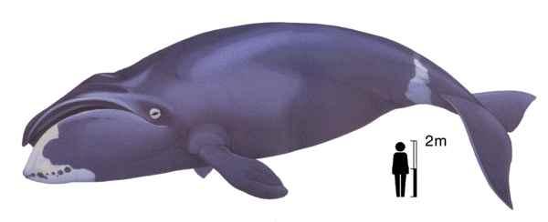 ballena de cabeza arqueada (Balaena mysticetus)