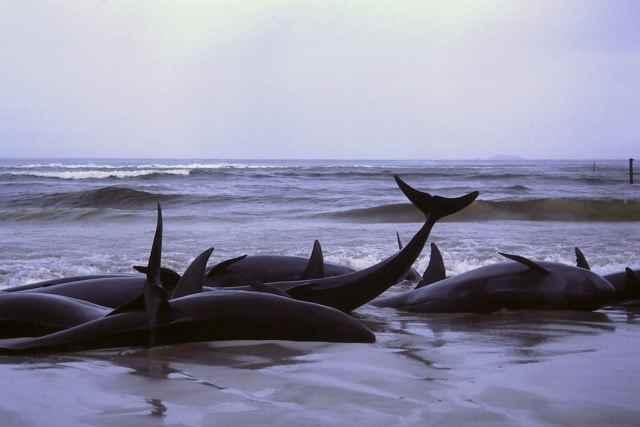 ballenas varadas en Flinders bay