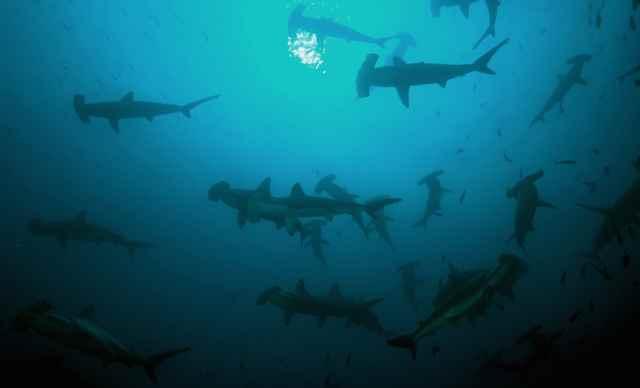 banco de hembras de tiburón martillo