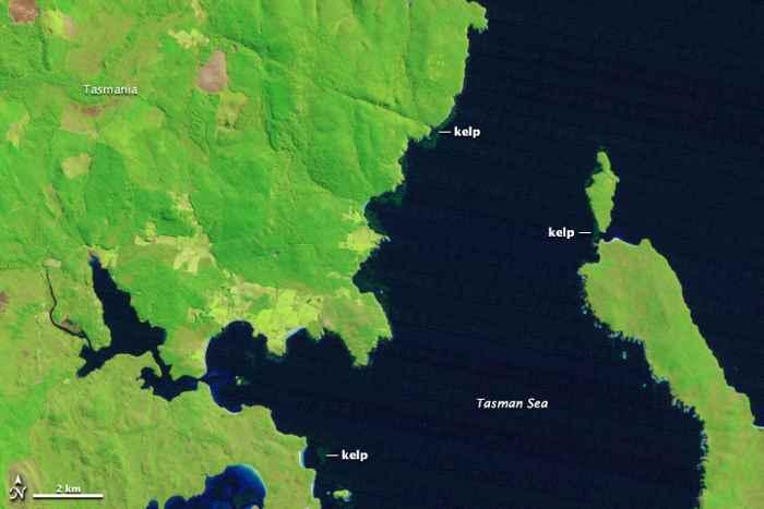 bosques de algas gigantes en Tasmania 19-09-1999