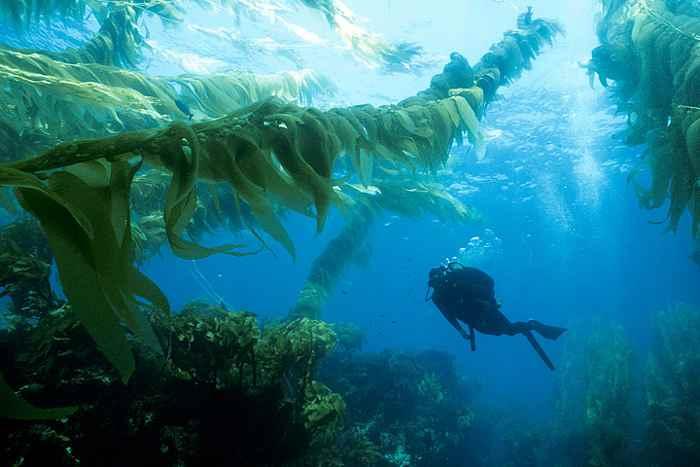 bosques submarino de algas