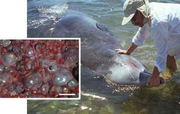 burbujas en el hígado de un delfín