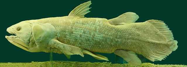 celacanto (Latimeria chalumnae)