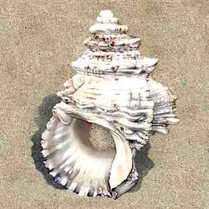 una concha marina en la arena