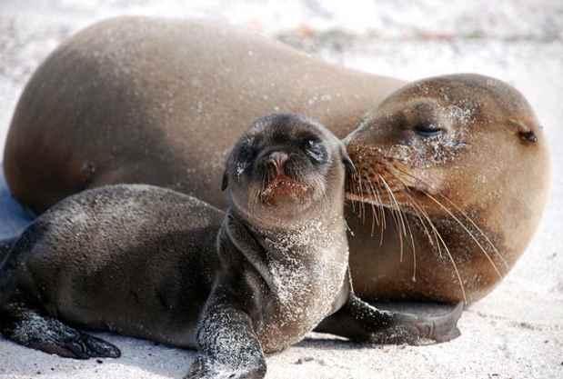bebé de león marino con su madre