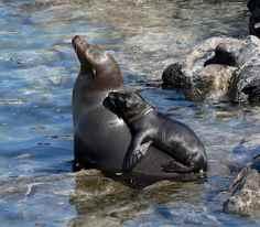cría de león marino subida encima de su madre