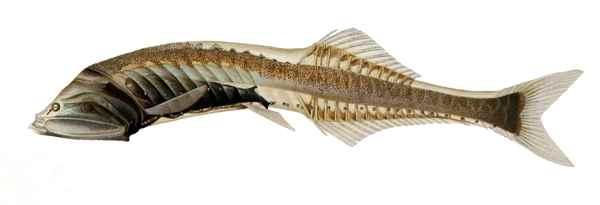 Cyclothone microdon